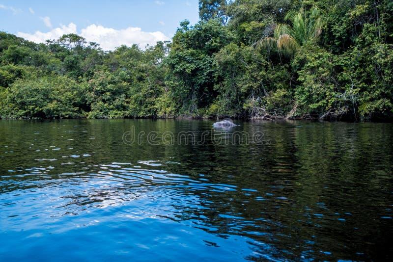 嬉戏的淡水豚,亚马逊雨林 免版税库存图片