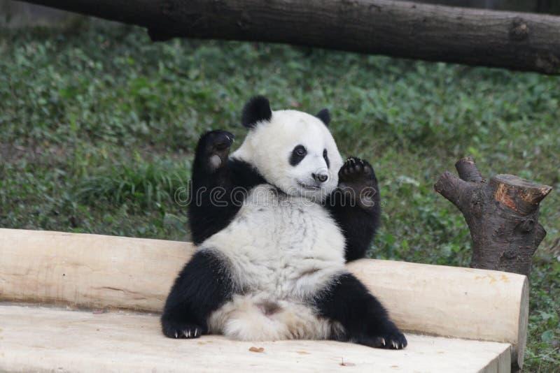 嬉戏的熊猫Cub在重庆,中国 免版税库存图片