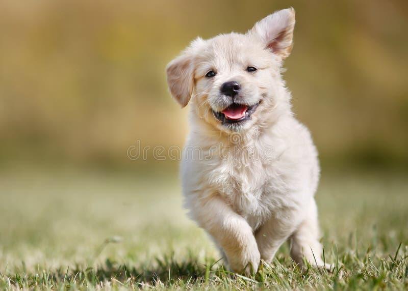 嬉戏的金毛猎犬小狗 图库摄影