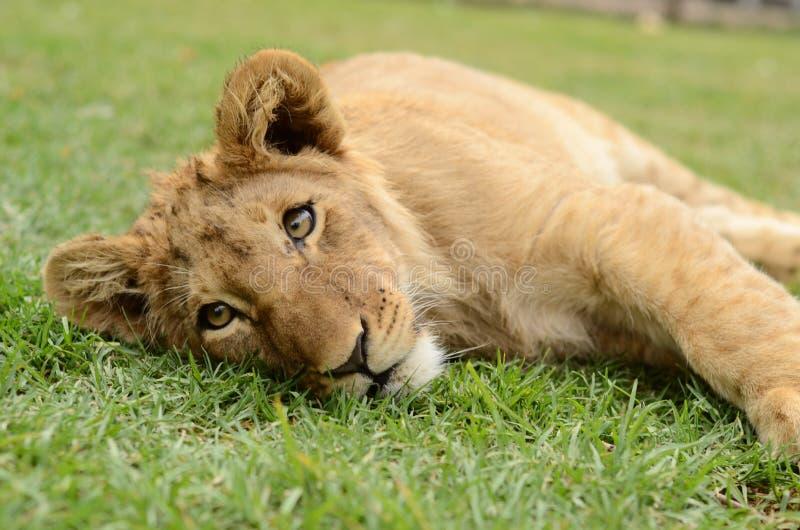 嬉戏的非洲幼狮 免版税库存图片