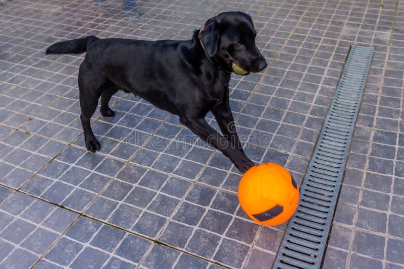 嬉戏的黑拉布拉多小狗使用与球在夏天 滑稽 库存照片