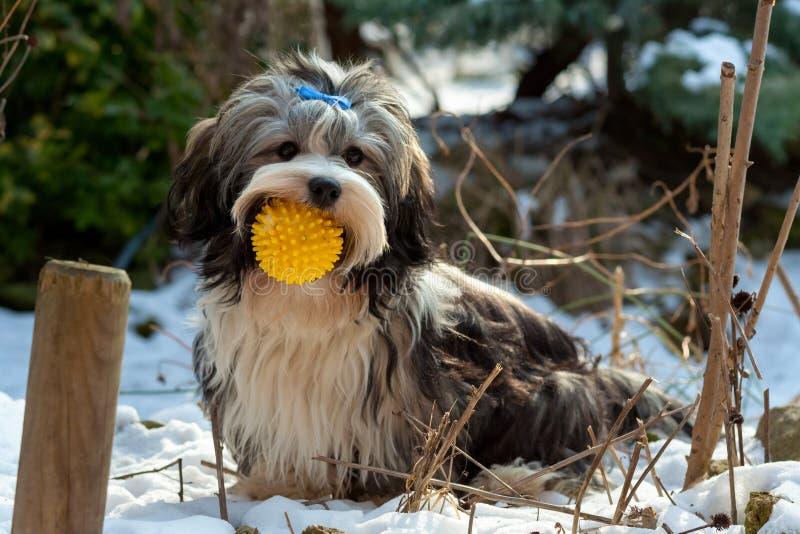 嬉戏的Havanese狗在与他的球的雪坐 免版税库存照片