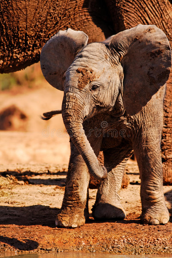 嬉戏非洲婴孩的大象 免版税库存图片