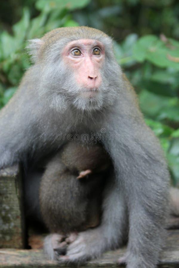 猴子与婴孩的山猴子在台湾 库存图片