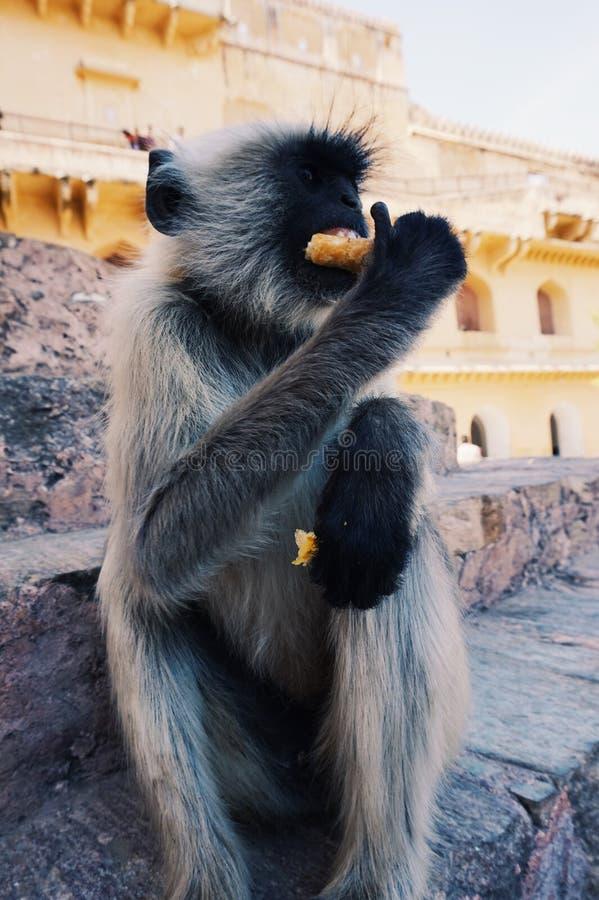猴子吃samosa在印度 库存图片