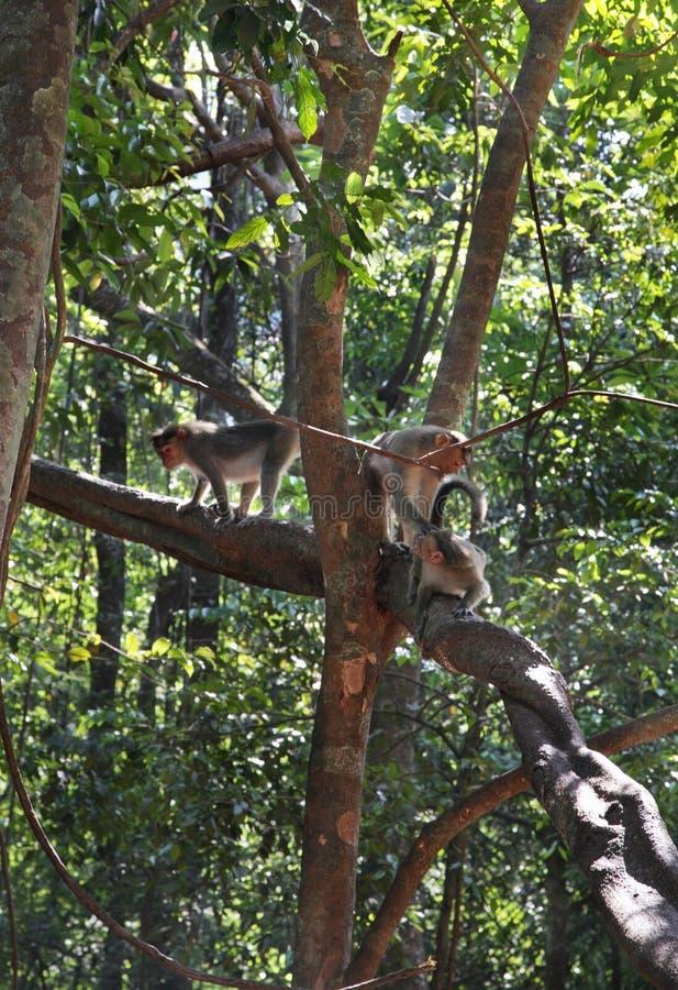 猴子在密林 goa 印度 库存图片