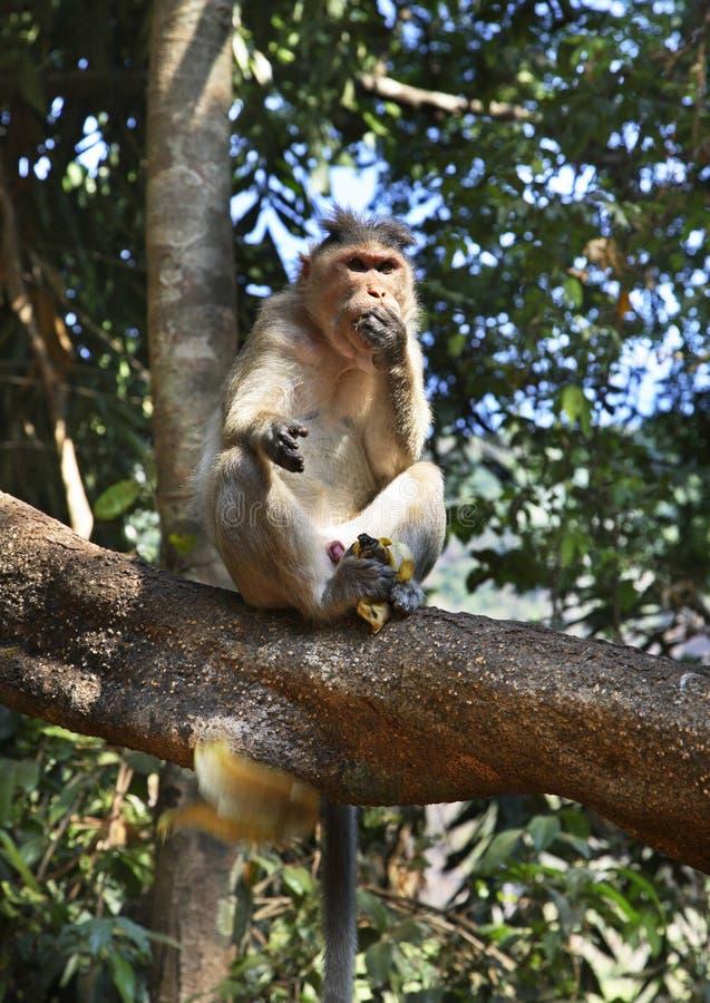 猴子在密林 goa 印度 图库摄影