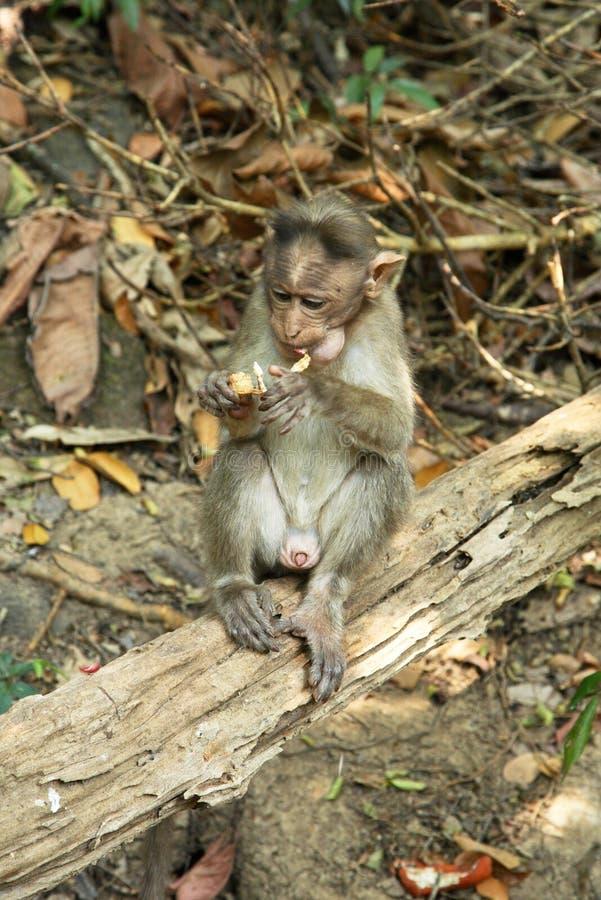 猴子在森林果阿里 印度 免版税库存照片