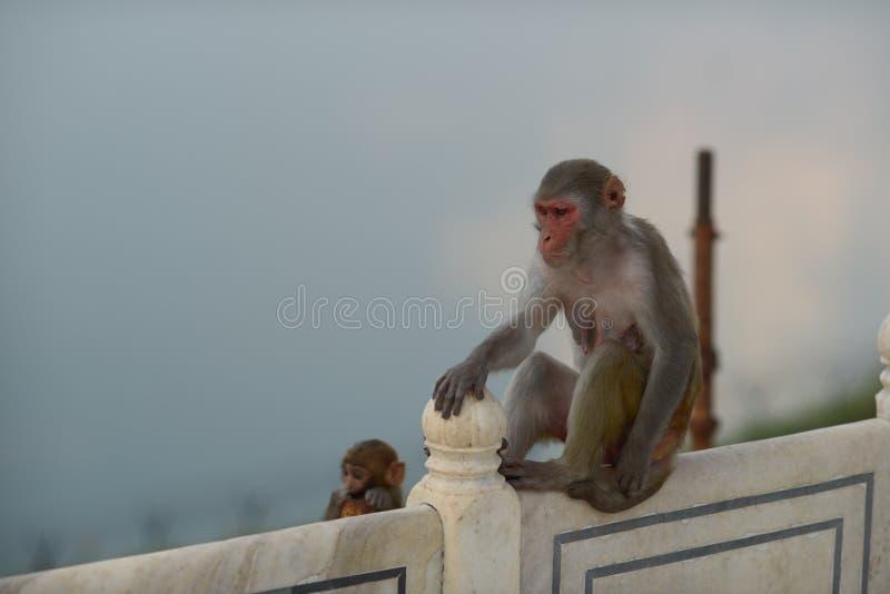 猴子在阿格拉 免版税库存照片