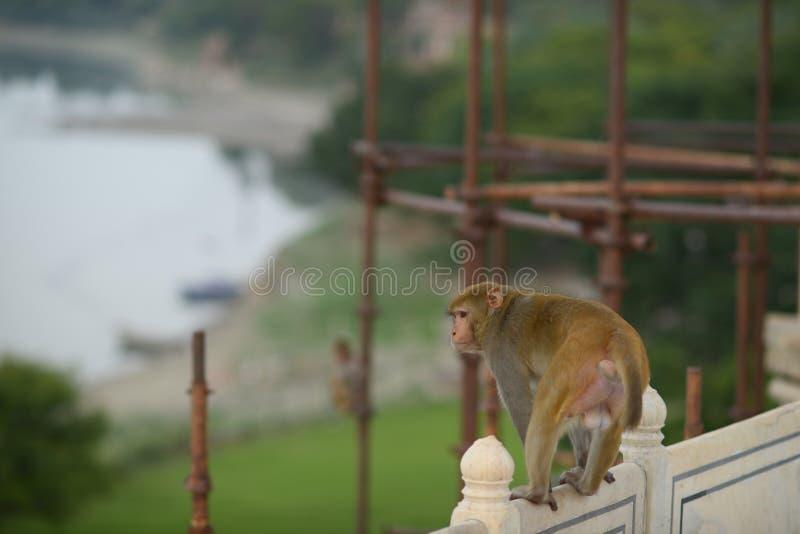 猴子在阿格拉 免版税图库摄影