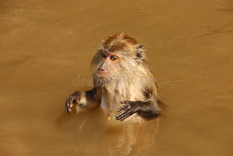 猴子在水中 免版税库存图片