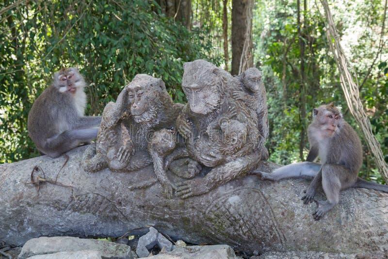 猴子在Ubud神圣的猴子森林里坐巴厘岛 免版税库存照片