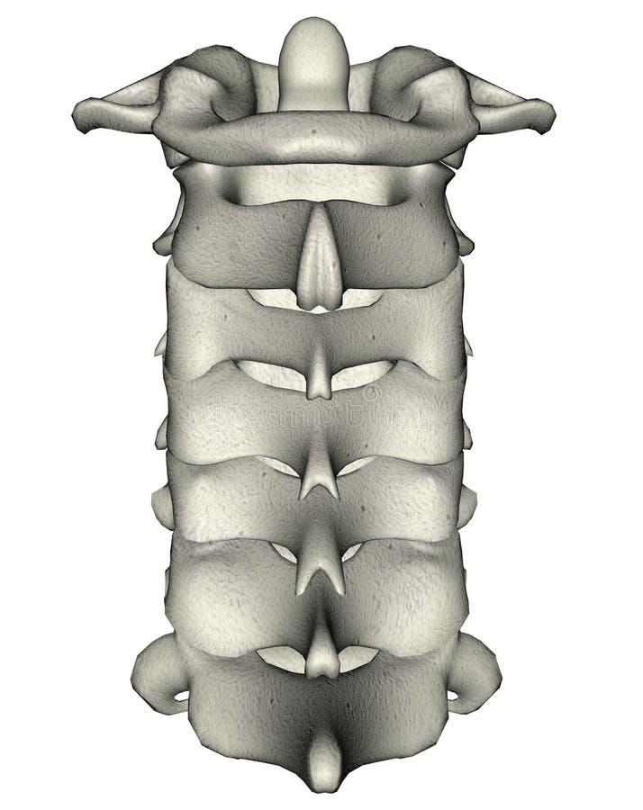 子宫颈人力脖子后部脊椎 库存例证