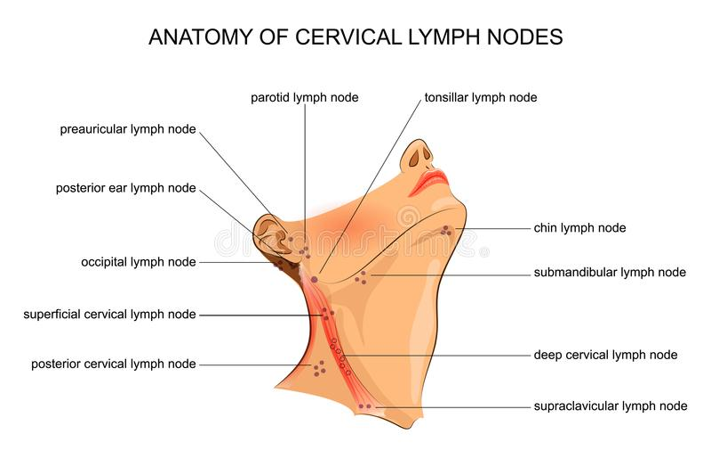 子宫颈淋巴结解剖学  皇族释放例证