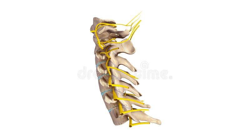 子宫颈脊椎有神经侧面视图 库存例证