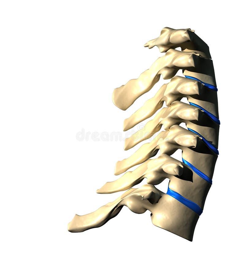 子宫颈脊椎-侧向看法/侧视图 向量例证