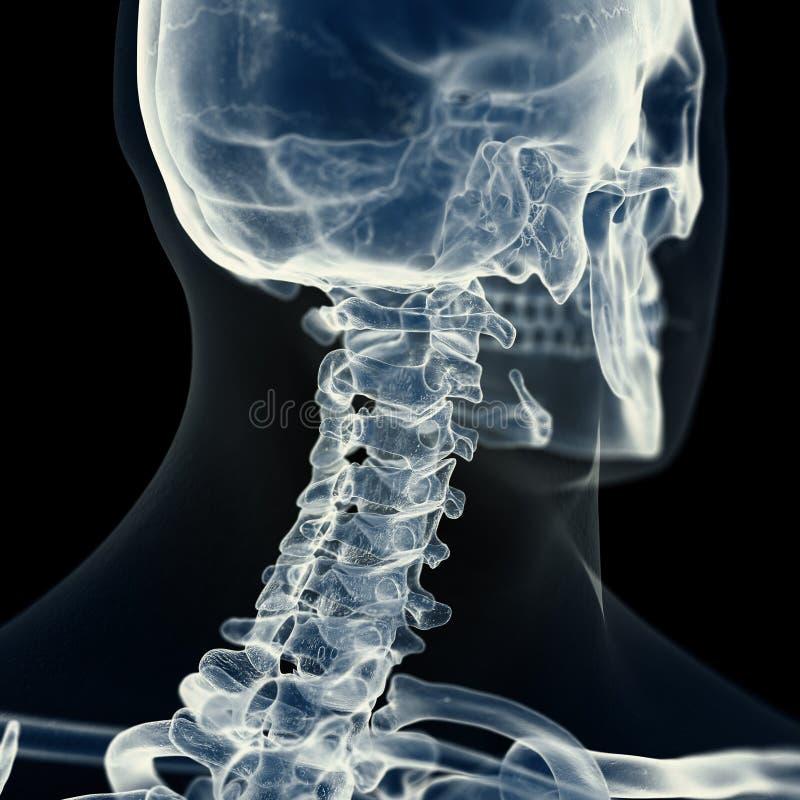 子宫颈脊椎 向量例证