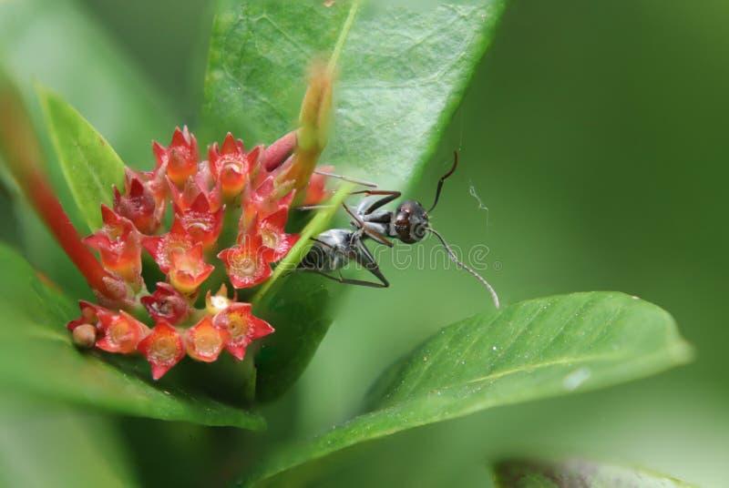 子弹蚂蚁,此种蚂蚁为有极端是著名的 库存图片
