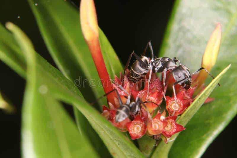 子弹蚂蚁,此种蚂蚁为有极端是著名的 库存照片