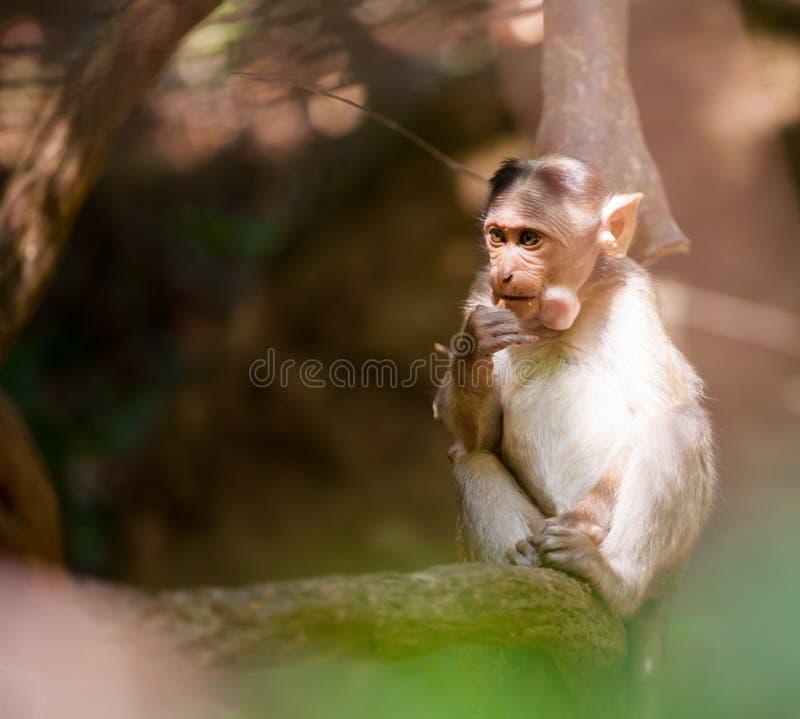 猴子森林孩子 印度 goa 免版税图库摄影