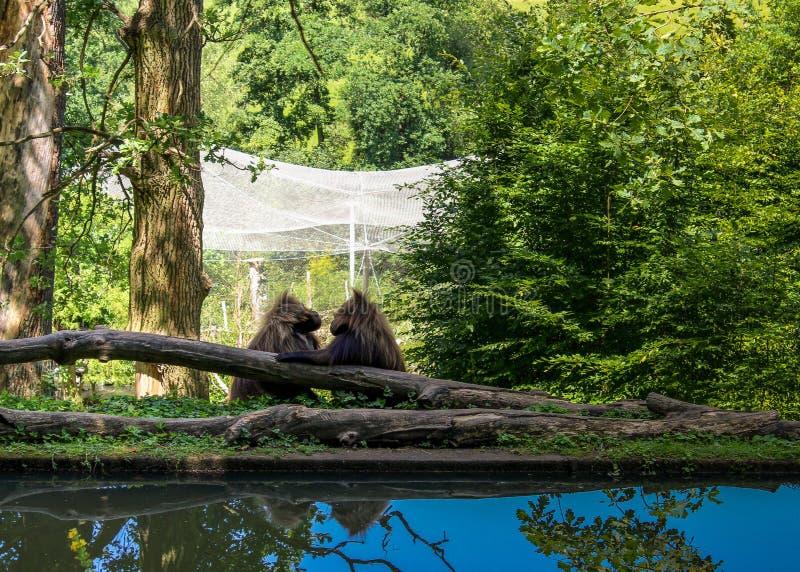 猴子爱 库存图片