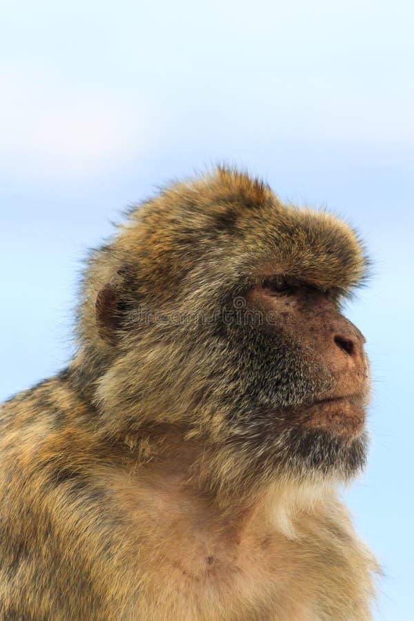 猴子的纵向 免版税库存照片