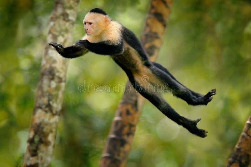 猴子跳 在飞行的哺乳动物 飞行的黑猴子白头的连斗帽女大衣,热带森林动物在自然栖所,幽默behav 免版税库存照片