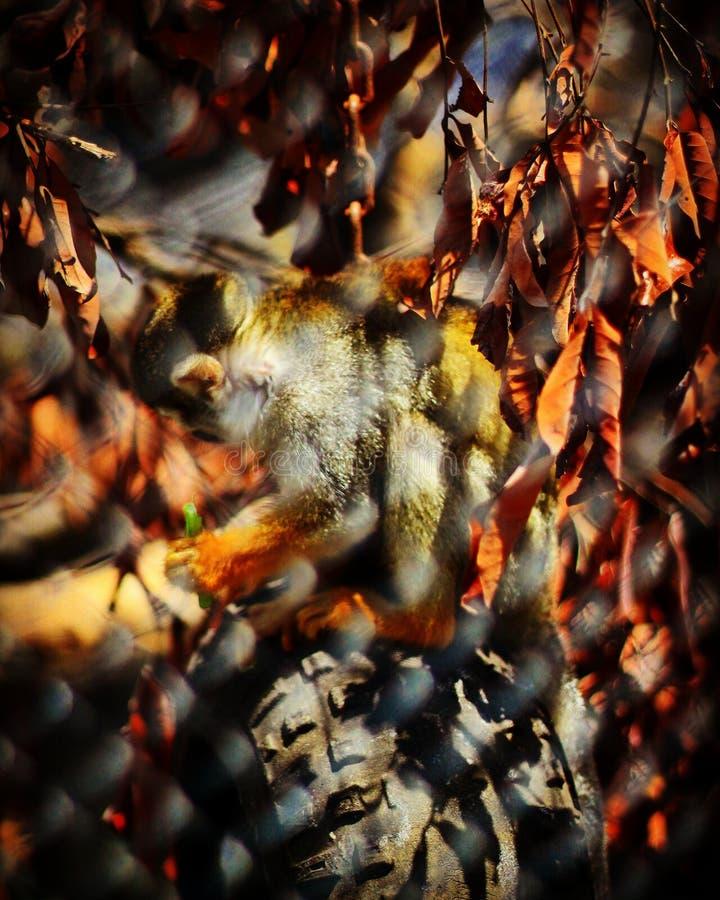猴子迷离 免版税图库摄影