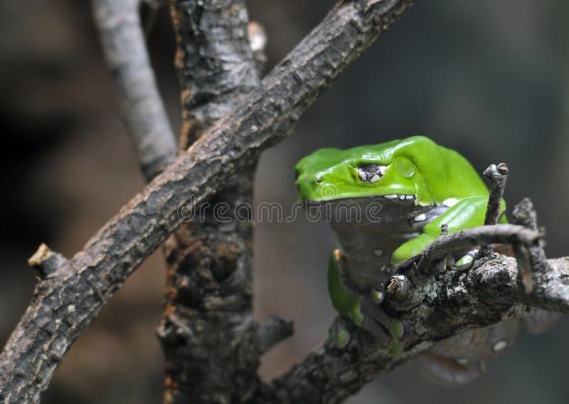 猴子青蛙 图库摄影