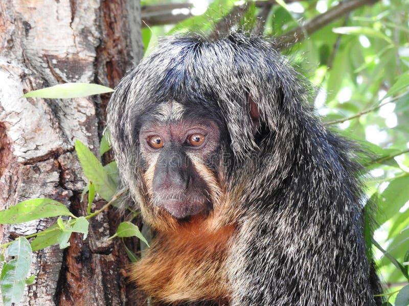 猴子面孔,单音的Cara de 库存照片
