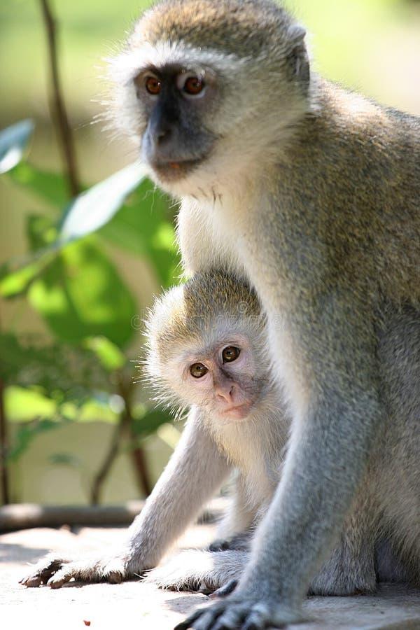 子项她猴子母亲保护 免版税库存照片