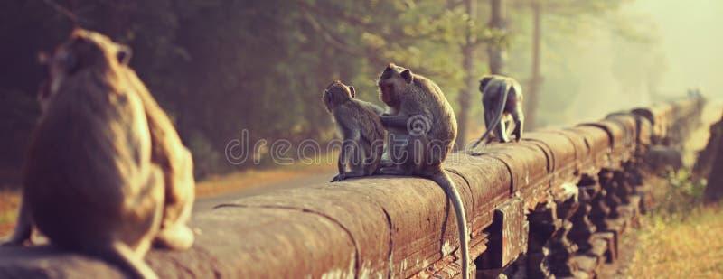 猴子 被盯梢的长的短尾猿 猕猴属fascicularis 库存图片