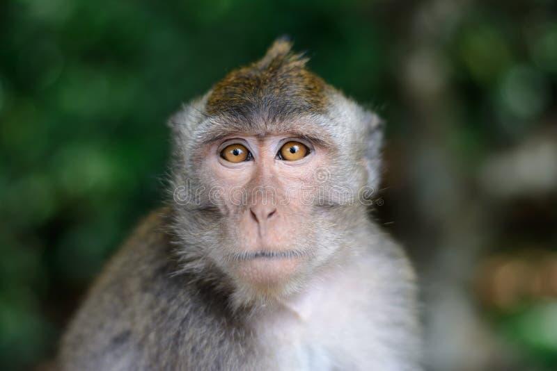 Download 猴子画象 库存图片. 图片 包括有 敌意, 短尾猿, 头发, 本质, 绿色, 强光, 逗人喜爱, 系列, 长毛 - 72361101