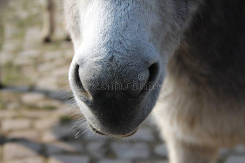 驴鼻子 库存图片