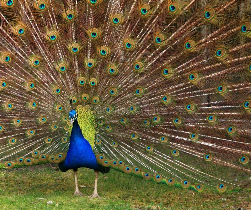 Download 孔雀与五颜六色的尾巴的en面孔特写镜头 库存图片. 图片 包括有 烧杯, 水平, 爱好健美者, 充满活力 - 72366797