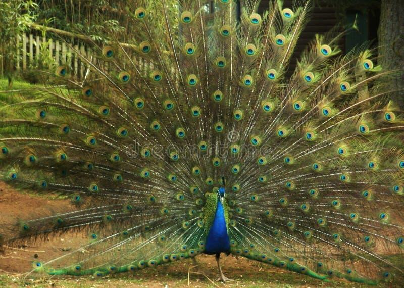 孔雀五颜六色的显示充分的尾巴展示 免版税库存图片