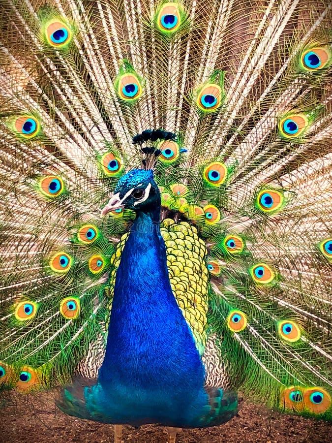 孔雀交配的羽毛 库存图片