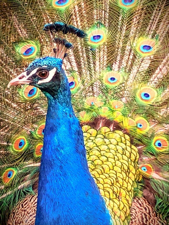 孔雀交配的羽毛 免版税图库摄影