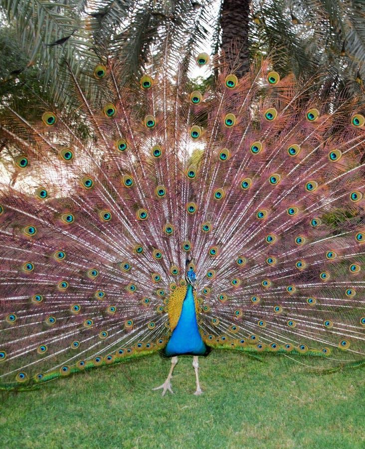 孔雀全身羽毛,跳舞 免版税库存照片