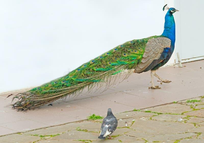 孔雀和鸽子在步行 免版税库存图片