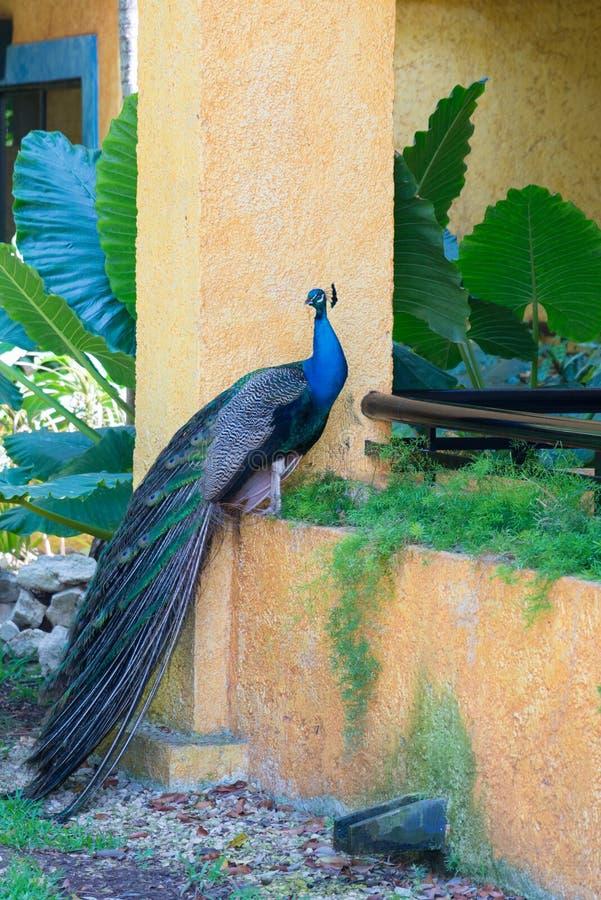 孔雀在旅馆后院坐阳台 免版税库存照片