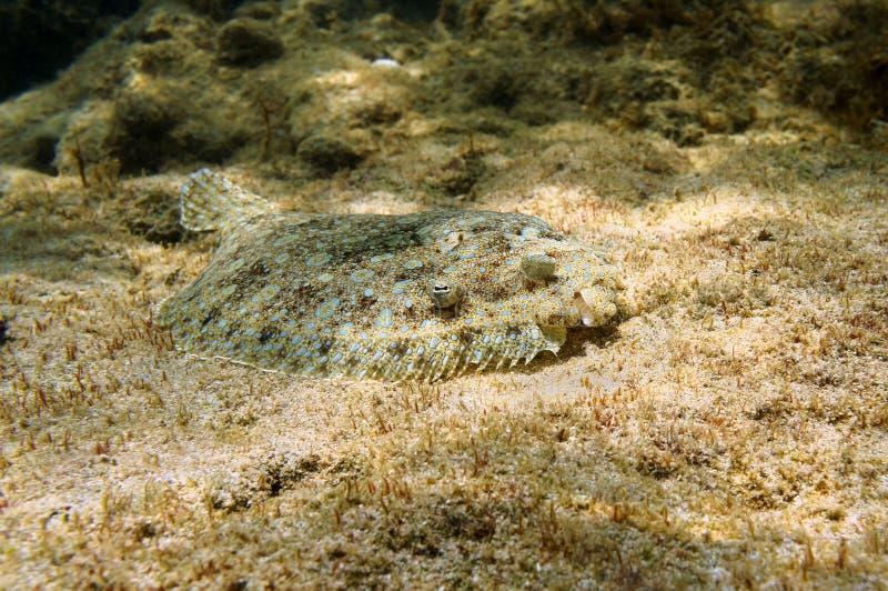 孔雀在海底伪装的比目鱼鱼 免版税库存图片