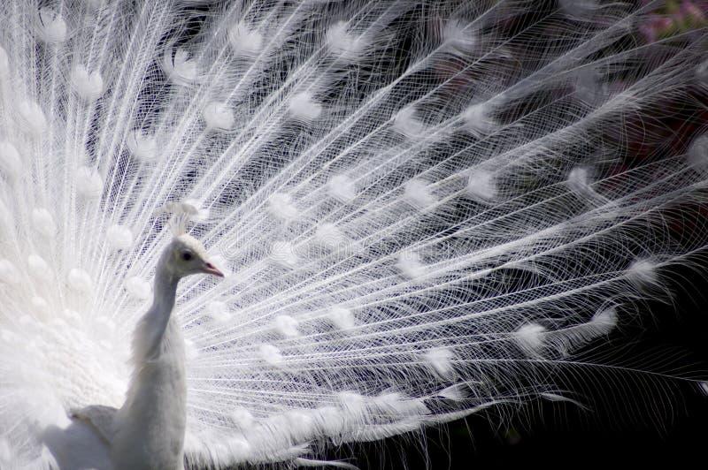 孔雀白色 库存图片