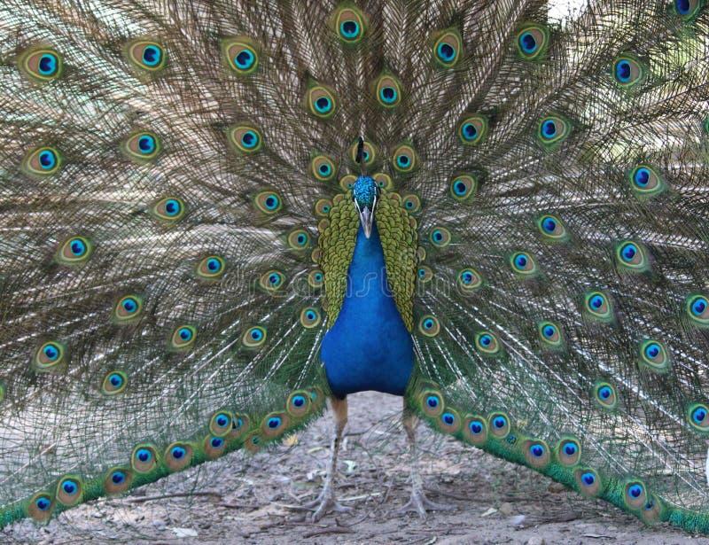 孔雀的全身羽毛 免版税库存图片