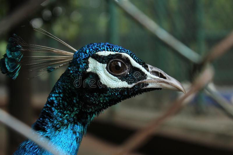 孔雀眼睛和额嘴特写镜头 免版税库存图片