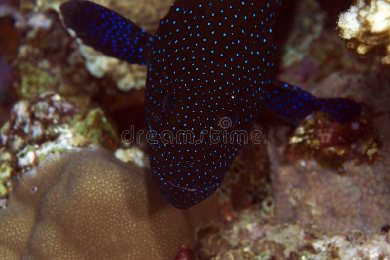 孔雀石斑鱼特写镜头在红海。 图库摄影