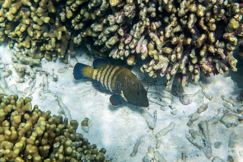 孔雀石斑鱼 库存照片