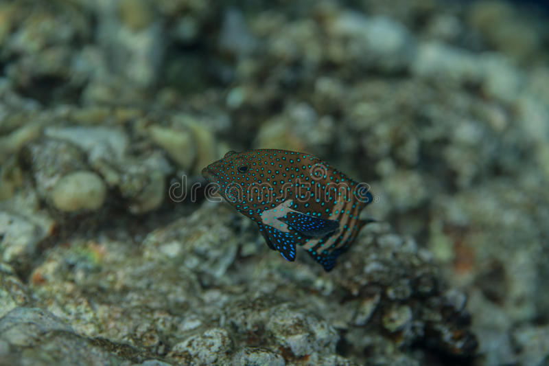 孔雀石斑鱼- cephalopholis阿格斯画象 库存照片