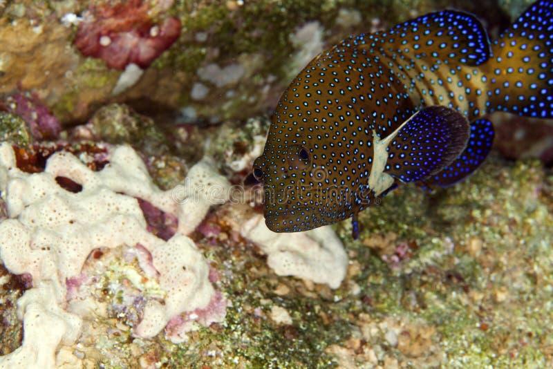 孔雀石斑鱼(cephalopholis阿格斯) 免版税库存图片
