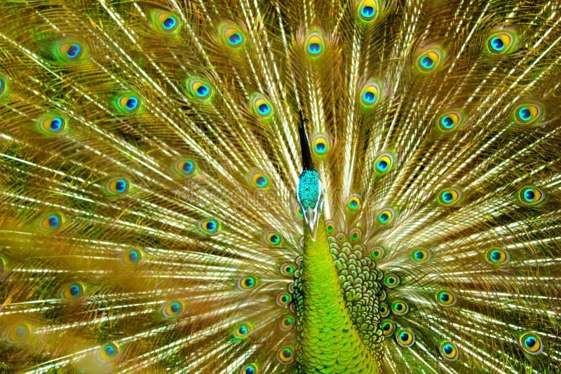 孔雀羽毛印度尼西亚TMII 库存照片